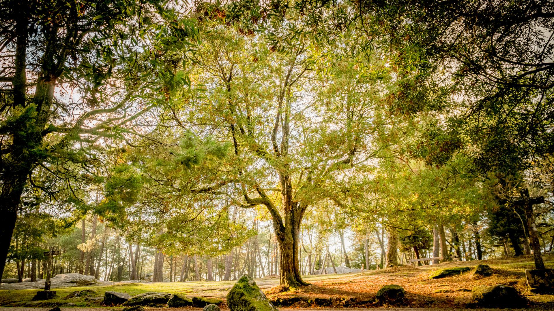 Gran árbol bosque Monte Aloia